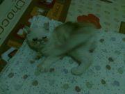จำหน่ายแมวเอ็กโซติก Exotic
