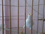 นกเอี้ยงสีขาว