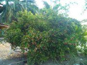 ขายต้นมะม่วงหาวมะนาวโห่