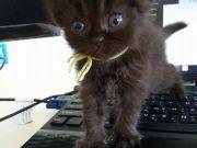 แมวเปอร์เซียแท้ เพศหญิง สีน้ำตาลดำ เกิด 5 มิถุนายน 57 น่ารัก แข็งแรง