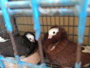 ขายด่วนนกพิราบคาปูชินพร้อมแถมกรงหมอนใหญ่ ราคาถูก