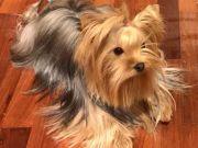 พ่อพันธุ์ Yorkshire Terrier ไซด์ SMALL น้ำหนัก 15 กิโล รับผสม